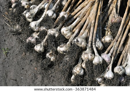 close-up of the freshly harvested ripe garlic in the field - stock photo