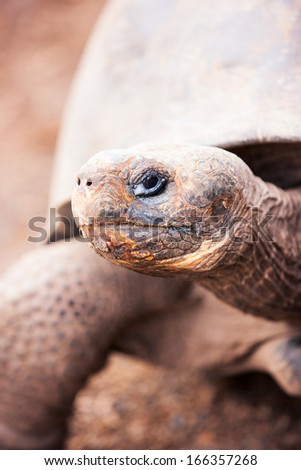 Close up of the Galapagos giant tortoise - stock photo
