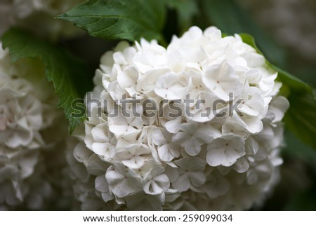 Close up of the guelder rose white flowers. - stock photo