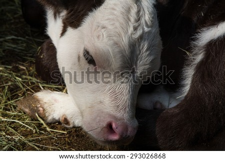 Close up of the head of a black and white calf lying in the hay  - stock photo