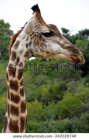 Close up of the head of a giraffe in a South African game park. - stock photo