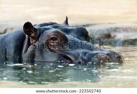 Close-up of the head of a hippopotamus in the water - stock photo