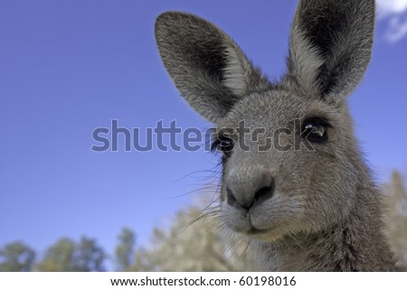 Close up of the head of a kangaroo in Australia