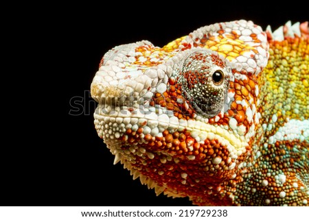 Close up of the head of a Panther Chameleon (Furcifer pardalis) native to Madagascar - stock photo