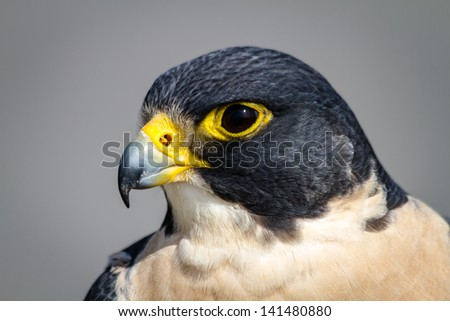 Close up of the head of a Peregrine Falcon - stock photo