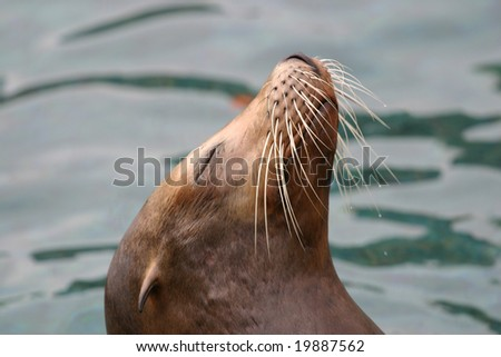 Close up of the head of a Sea Lion