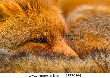 Close up of the head of Resting European red fox (Vulpes vulpes). Red Foxes are adaptable and opportunistic omnivores and are capable of successfully occupying urban areas. - stock photo