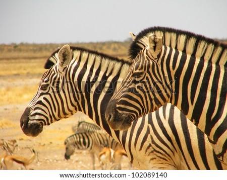 Close-up of the heads of two zebras, Etosha Natinal Park, Namibia - stock photo