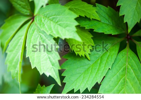 Close up of the ivy green leaves. - stock photo