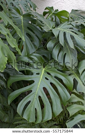 close up of the leaves of the monstera deliciosa
