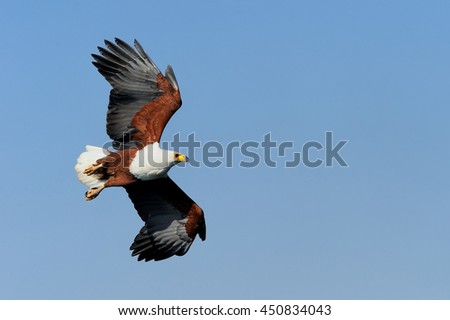Close-up of the majestic African Fish Eagle flying against blue sky