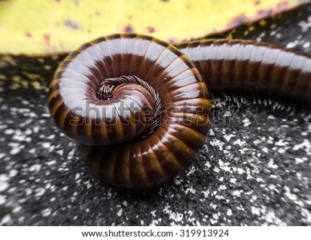 close up of the millipede slipping . millipede in Thailand - stock photo