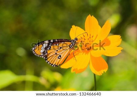 Close up of the Plain Tiger butterfly feeding on cosmos flower - stock photo