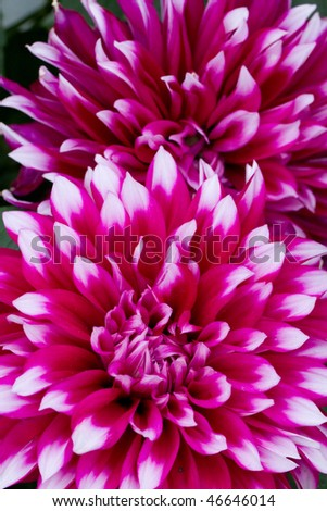 Close up of the Purple Dahlia which is usually seen on Chinese New Year