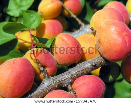 close-up of the ripe apricots in the orchard#4           - stock photo