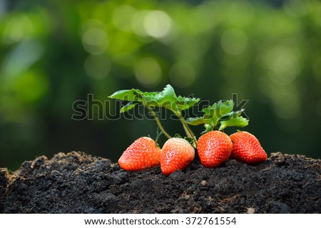 Close-up of the ripe strawberry in the garden - stock photo