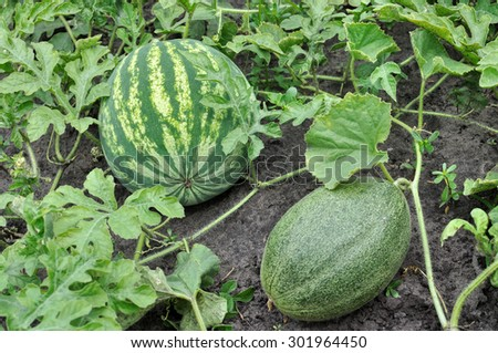 close-up of the ripening watermelon and melon in the vegetable garden - stock photo