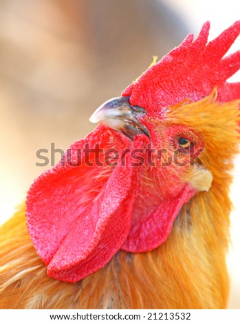 Close up of the rooster's head