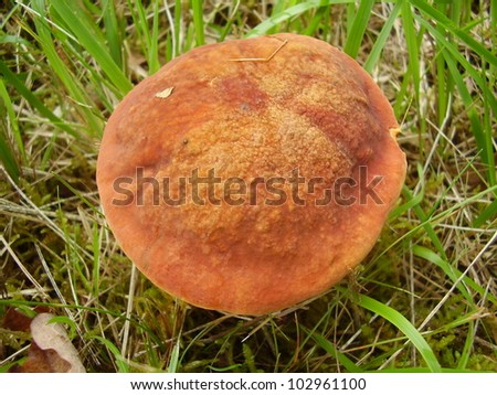 Close up of the ruby red cap of Boletus Rubellus, also known as Ruby Bolete, in a meadow