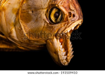 close up of the scary mouth of a dried pirana - stock photo
