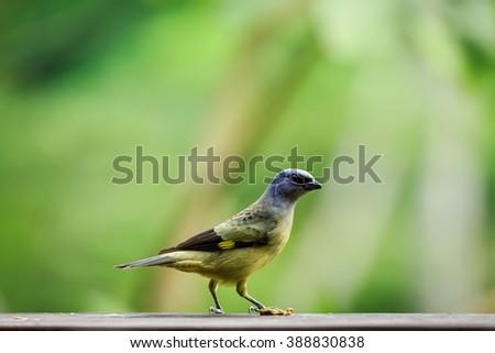 Close up of the side of tropical, yellow-throated, euphonia, bird, Euphonia hirundinacea, - stock photo
