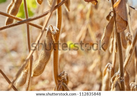 close up of the soy bean plant in the field - stock photo