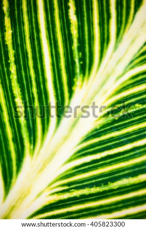 Close up of the striped green and white leaf in the sunshine. - stock photo