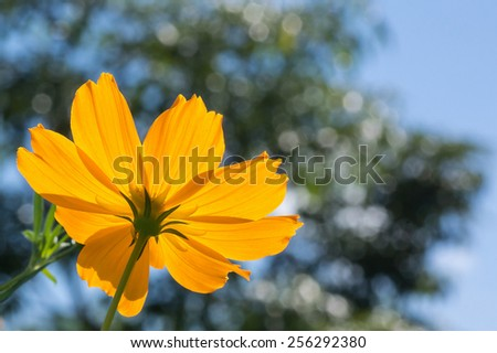 Close Up of The Under Side of An Orange Grand Cosmos Illuminated By Sunlight Against Blurred Tree And Blue Sky. - stock photo
