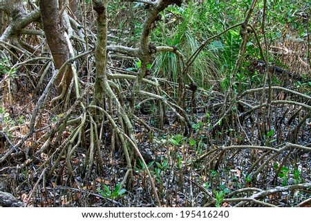 Close-up of the undergrowth and roots of Red Mangrove trees  - stock photo