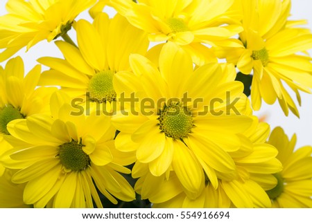 Close up of the yellow chrysanthemum flowers
