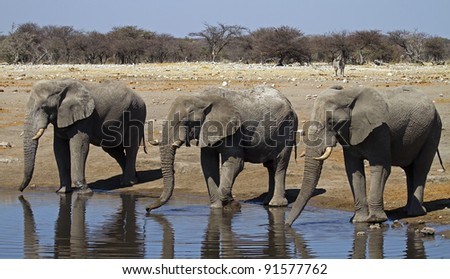 Close-up of three elephant bulls at waterhole; Loxodonta africana