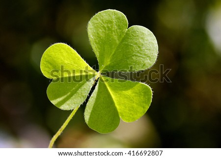 Close up of three leaf clover