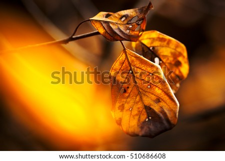 Close-up of three withered leaves from beech in front of blurry yellow-red background