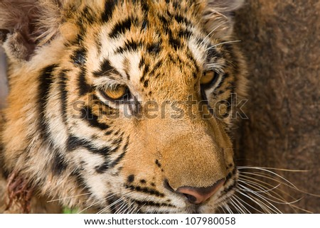Close up of tiger face