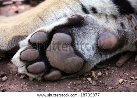 Close-up of tiger paw