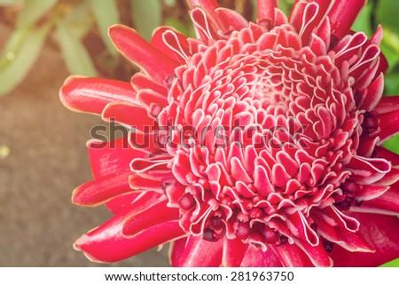 Close up of Torch ginger or Etlingera elatior blossom in flower garden - stock photo
