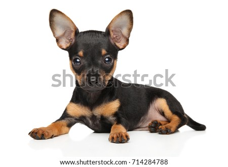 Close-up of Toy Terrier puppy on white background