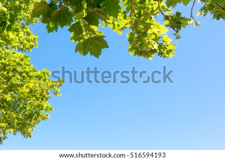 Close-up of tree leaves, backlit on blue sky background.