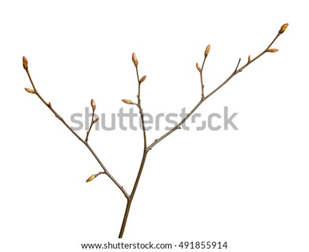 Close-up of tree twig with buds ready to burst isolated on white background