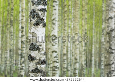 Close up of trunk of birch tree in Swedish forest, with fuzzy lush foliage background in early spring - stock photo