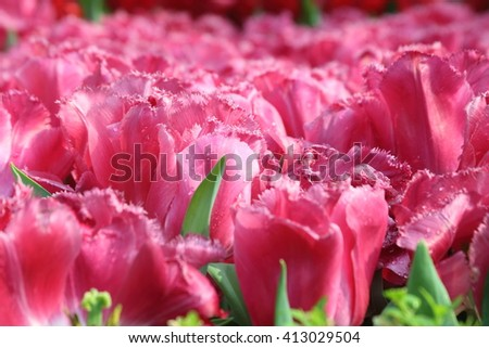 Close up of tulip carola with water droplets - stock photo