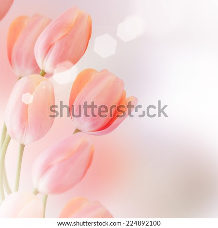 Close-up of tulip  flower - stock photo