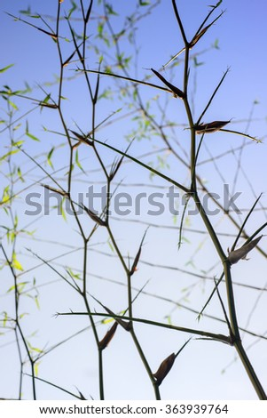 Close up of twig leaves of bamboo   - stock photo