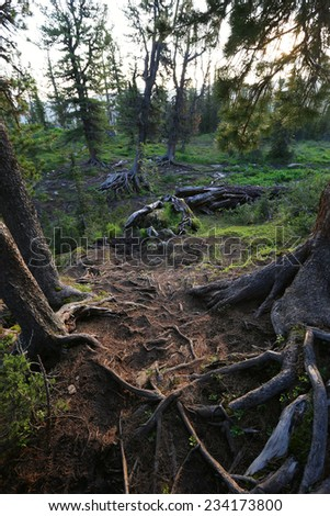 close-up of twisted roots of trees on the ground in the mountains of the Western Sayan summer - stock photo