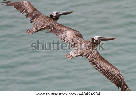 Close up of two Brown Pelicans flying close together over the Pacific Ocean in Panama - stock photo