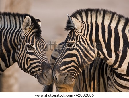 Close-up of two Burchells Zebras standing head to head; Equus Burchelli