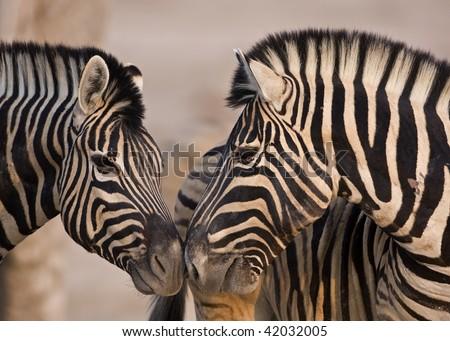 Close-up of two Burchells Zebras standing head to head; Equus Burchelli - stock photo