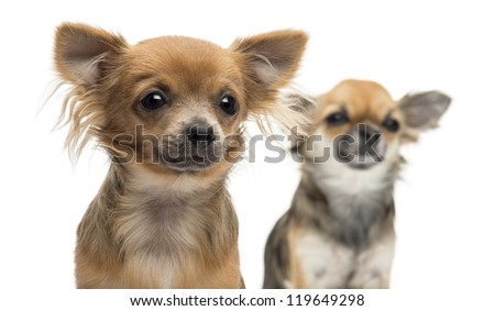 Close-up of two Chihuahuas looking away against white background - stock photo
