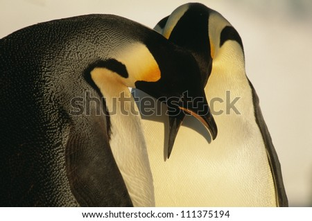 Close-up of two emperor penguins, Antarctic - stock photo