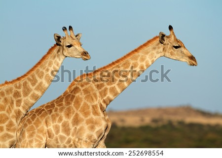 Close-up of two giraffes (Giraffa camelopardalis) against a blue sky, South Africa - stock photo